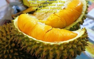 bibit durian musang king004